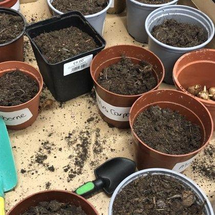 We're planting crocus!